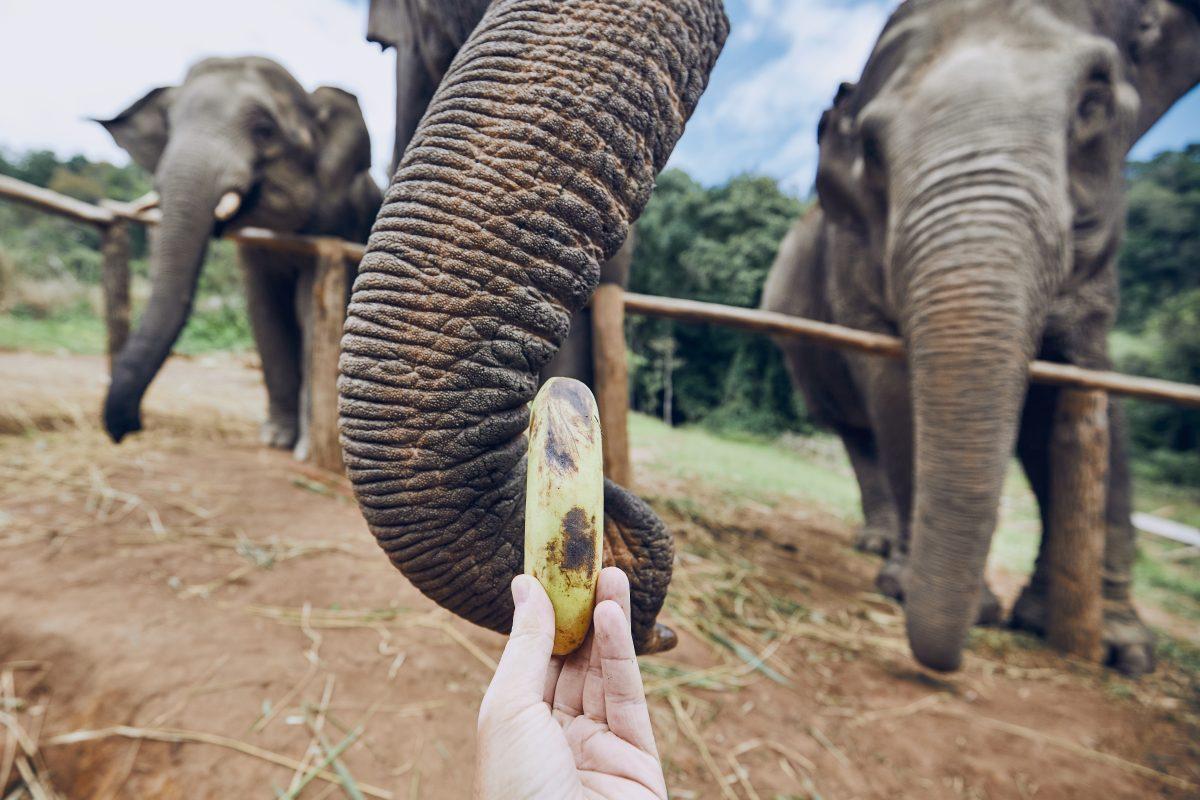 feeding of elephant QU7ARN6 e1554095975589 - Safari World